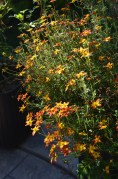 A single Bidens plant in a container.