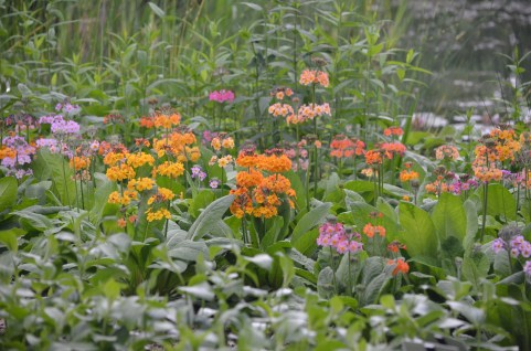 Japanese Primroses in shades of yellow, pink and orange in a woodland garden setting