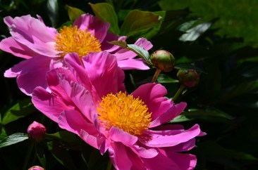 Bright pink peonies with yellow enters