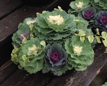 A low container filled with ornamental cabbages.