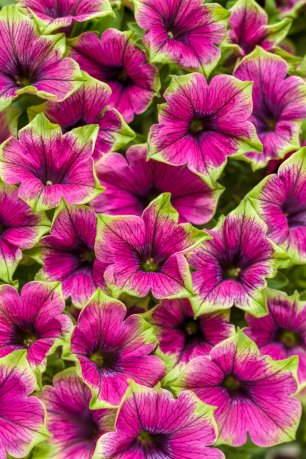 Supertunia Picasso in Purple.