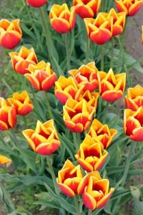 tulips-(24)