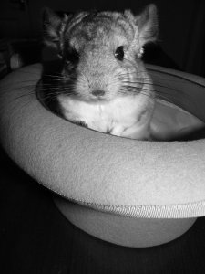 Chinchilla_in_a_Top_Hat_by_woodian