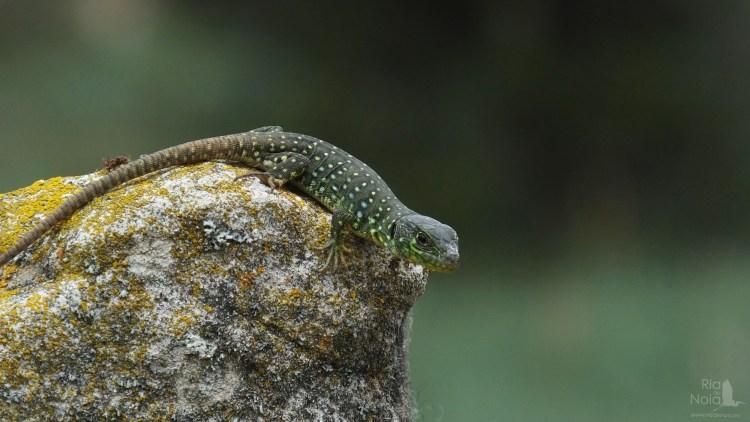 Lagarto ocelado - Lagarto arnal (Timon lepidus)