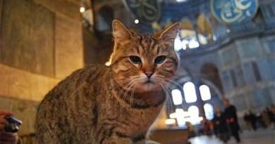 Gli, kucing penhuni Hagia Sophia.