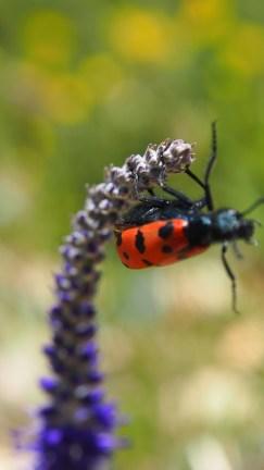 A big drunk lady bug.