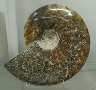 Ammonite 02