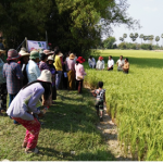 Pest-and disease-resistant rice variety enthusiastically received by Cambodian farmers