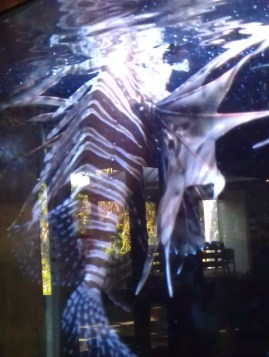 One of the biggest Lionfish I've seen