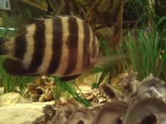 Sheepshead in a tank