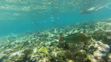 A beautiful rainbow parrotfish