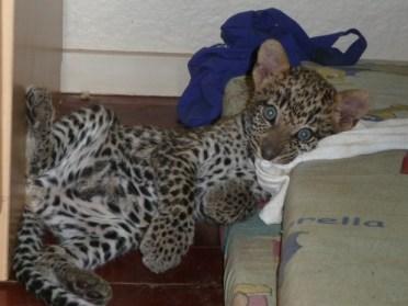 Leopard Cub (1)