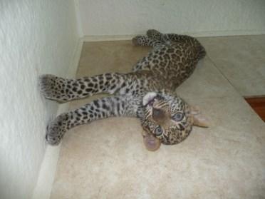 Leopard Cubs2