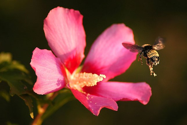 Bumble bee and Rose-of-Sharon, summer 2006.