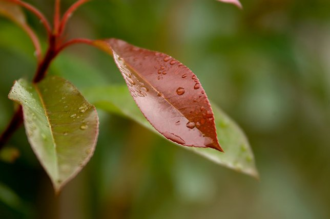 Raindrops on leaves in the front yard, shot with the Tamron at 200mm, f/2.8, about a 250th of a second. Very sharp.