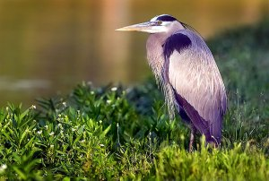 An image I made of a blue heron in Wintersmith Park with the 400mm