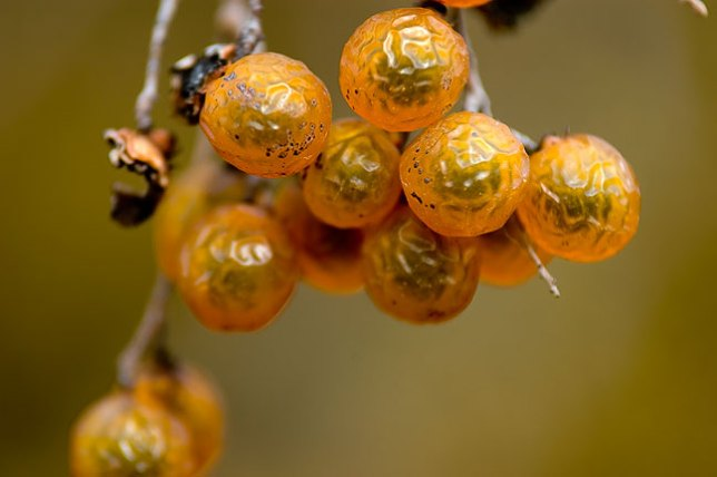 A spot of color on a mostly grey day, we found these hackberries near the Great Plains Lake dam.