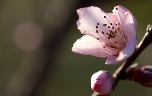I made this peach blossom image with a large aperture to isolate the background.