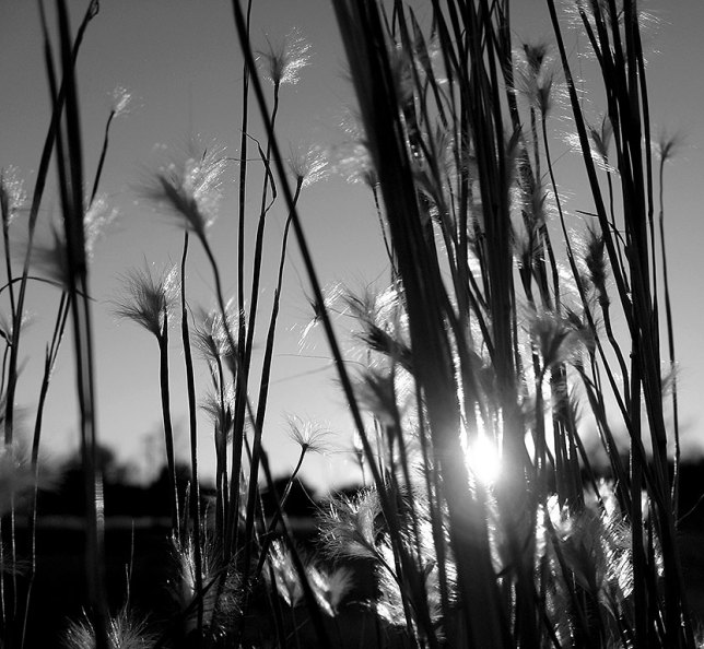 Sunsets aren't always about color. The light as dusk approaches can take many forms, as in this low-angle shot of wheat grass in our pasture. This scene looked nothing like this just an hour earlier.