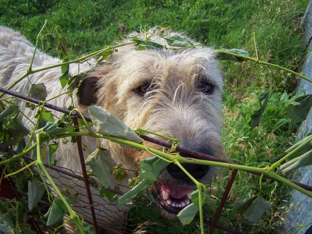 Hawken the Irish Wolfhound was so curious about my woods walk that he got tangled up in a vine alone the south fence.