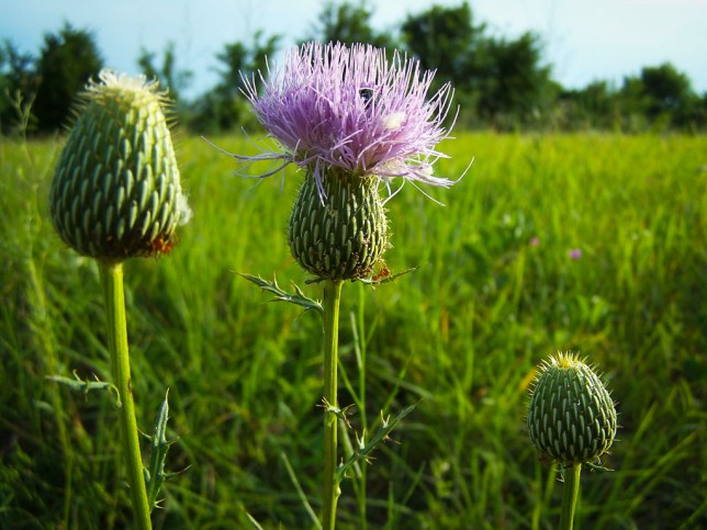 I made this image of a thistle plant in our pasture last night with the 2005-era Kodak Easyshare Z740. Possibly regarded as inadequate by today's standards of technology, the image is, nevertheless, lovely.