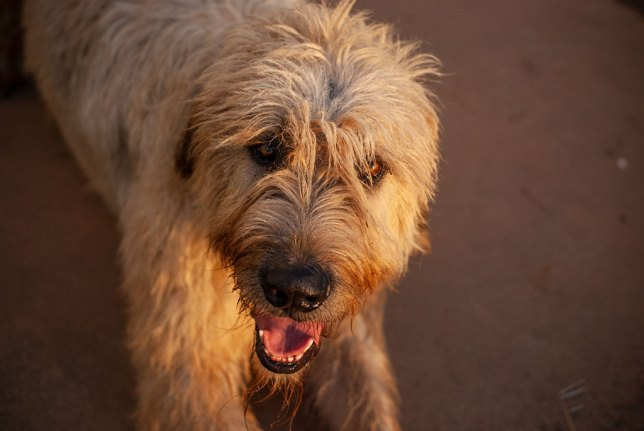 Hawken the mighty Irish Wolfhound keeps a watchful eye on me.