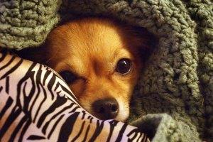 Sierra, nestled in Abby's afghan