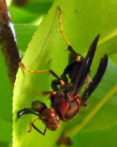 Wasp on Pear Branch
