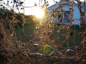 Fades morning glory vines on our arbor fence with our house in the background at sunset tonight.