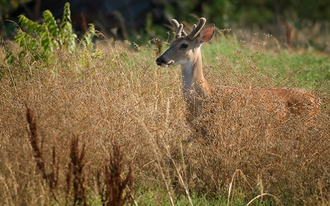 A young whitetail buck moves through our north pasture this morning.