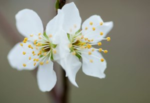 I found these blossoms on one of my new plum trees. If fruit appears, I will remove it, since it is best not to let a fruit tree bear for the first three years.