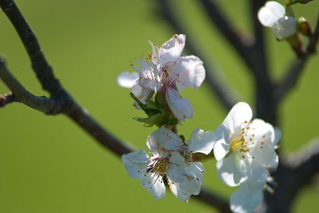 Blossoms on my cherry trees seems a bit damaged, but remained on the trees after last night's light freeze.