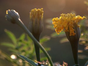 Nothing says summertime in my garden like the marigolds I plant around the edges. These are on the west side of the garden, and have just started to bloom.