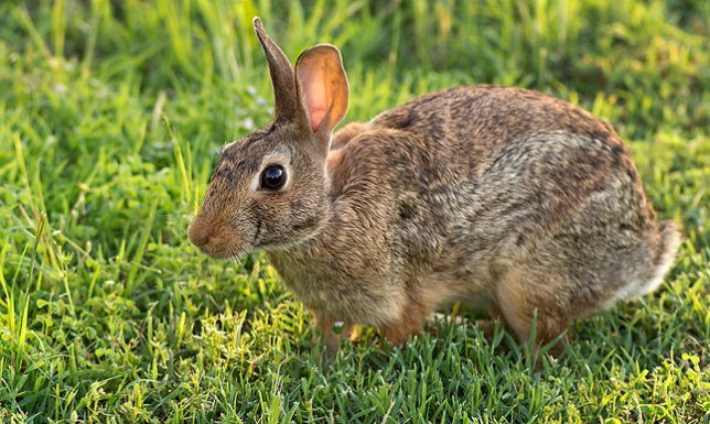 Since I only see one at a time, I can only verify that we have one of these rabbits living on our patch.