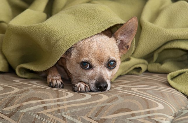 There is a lot of right and wrong in our world, which can sometimes be difficult to sort. In those times, the simple love of a devoted animal, like this one, Max the Chihuahua, can be very centering.