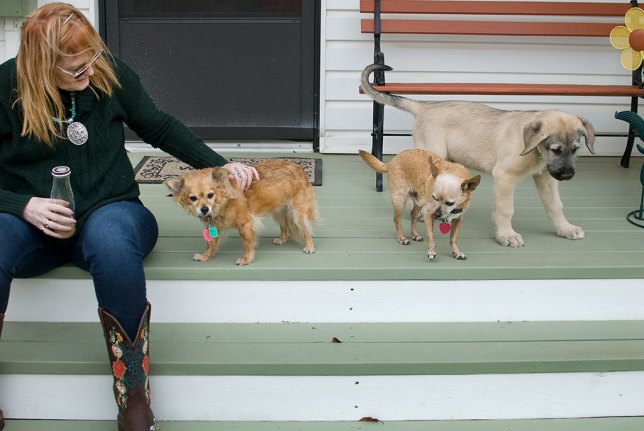 At 26 pounds, Hawken already weighs more than 1.3x the total weight of our Chihuahuas put together, Sierra and Max, shown here meeting the big puppy for the first time.