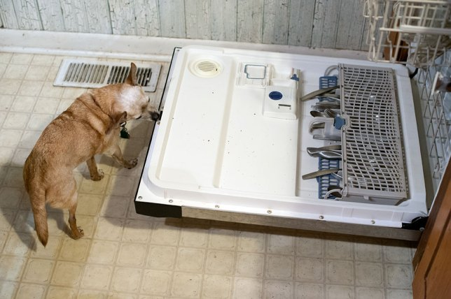 Max the Chihuahua is more of a trash dog than Sierra. He is pictured here eating the dishwasher.