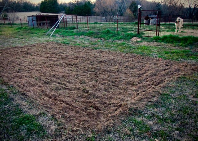 Yesterday evening and this evening, I managed to triple-till a right-size area of land near my peach trees, with Hawken the Irish Wolfhound keeping a close eye on me.