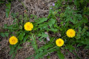 Dandelions begin to populate our pasture.