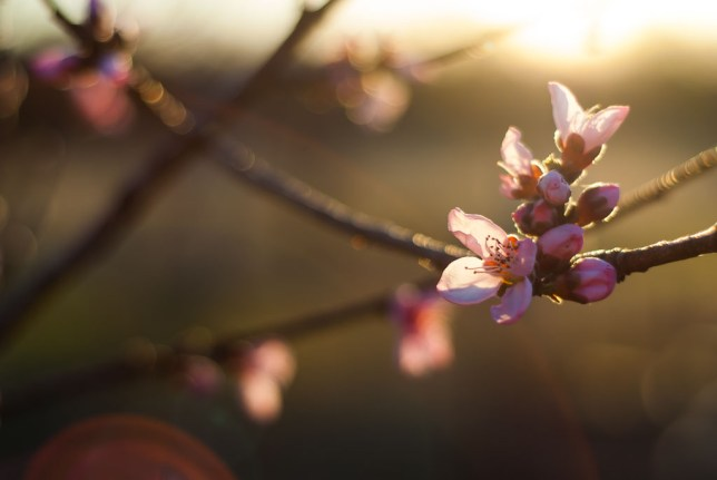 Something about the circles of confusion created by my old 50mm f/1.8 give me a certain look I like. I shot these peach blossoms in my orchard at /2.0.