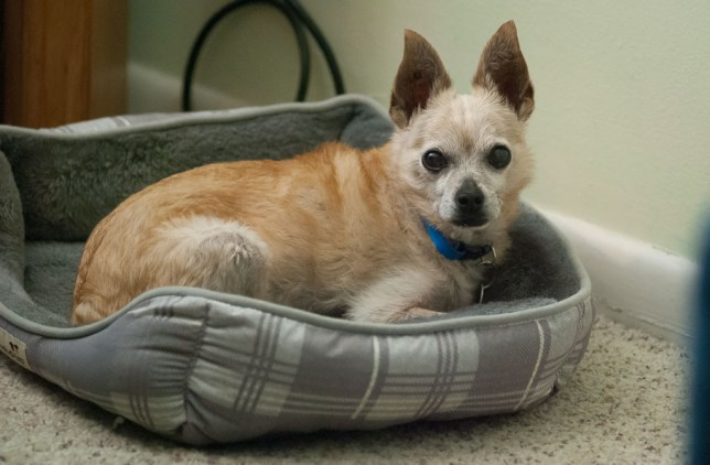Max the Chihuahua is about 15 years old. We adopted him in January 2006 one day before he was slated to be euthanized. He is a terrific dog.