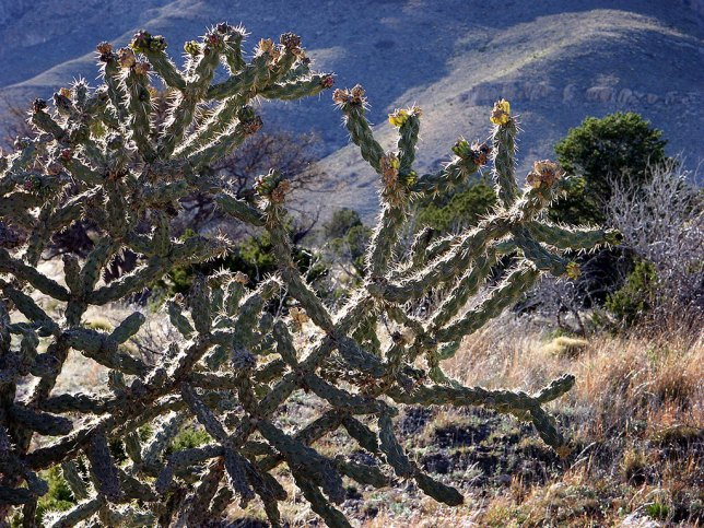 Cactus line the Smith Spring trail, one of the shortest and easiest hikes at Guadalupe Mountains.