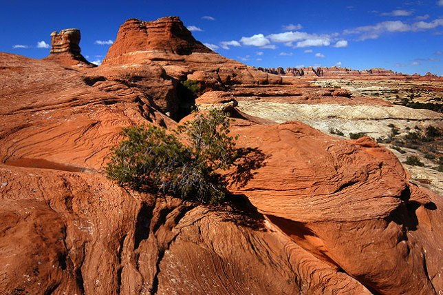A juniper clings to a crevasse in slickrock on the Peek-a-Boo trail in the Needles district at Canyonlands, with the Needles visible in the distance.