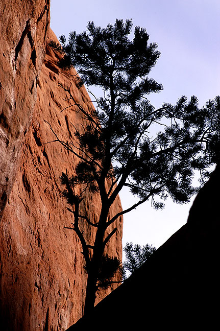 This tree stands in a gap near the Squaw Flat campground, Needles district, Canyonlands.