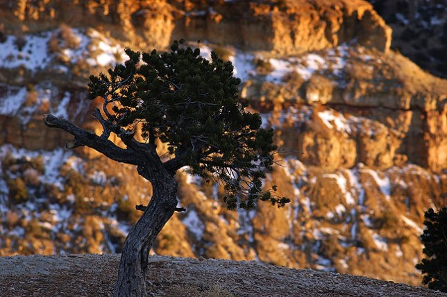 A tree in lingering snow a silhouetted against Eagle Canyon on the San Rafael Swell, Utah.