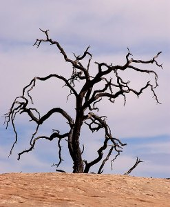 Dead Tree, Neck Spring trail, Canyonlands