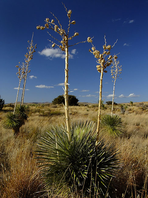 Yucca and sky, City of Rocks State Park, New Mexico; I had this 3.5-mile trail entirely to myself.