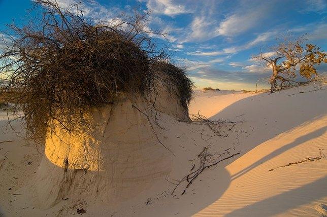 """Skunkbush Sumac at White Sands National Monument; I nicknamed this one """"The Spaghetti Monster."""""""