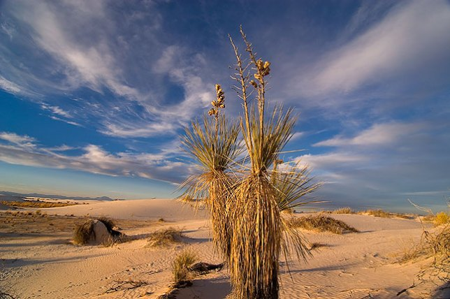 Soaptree yucca and sky, sunset, White Sands.