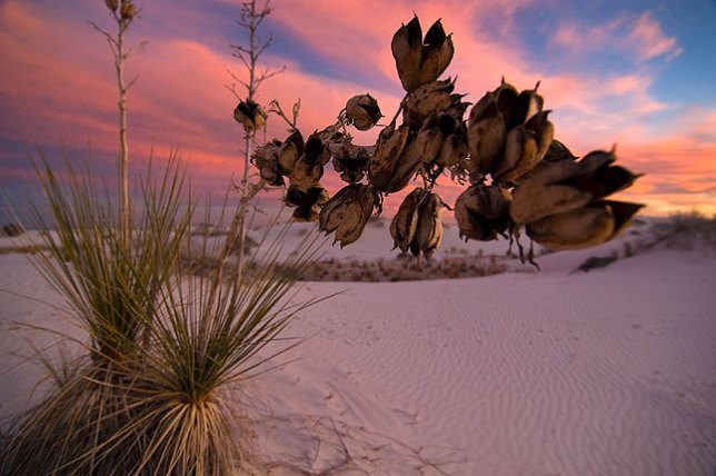 The last blue hour light graces this soaptree yucca at White Sands.